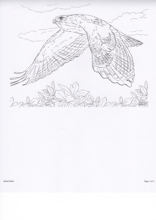 Hawk in Flight-coloring