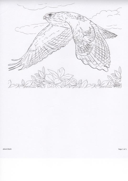 Hawk in Flight-coloring